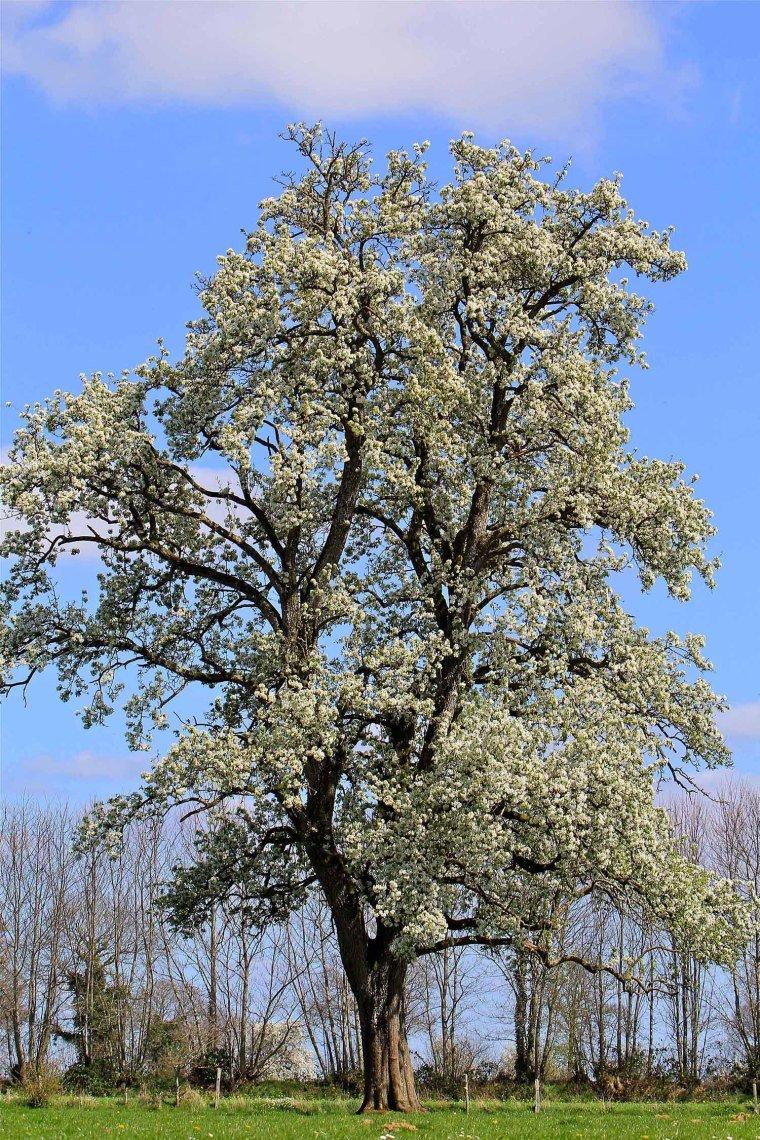 Poiré træ