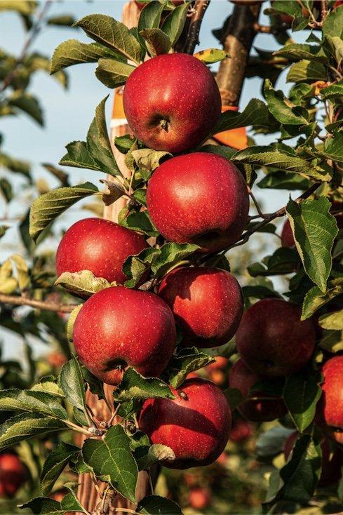 Æbler på kvist